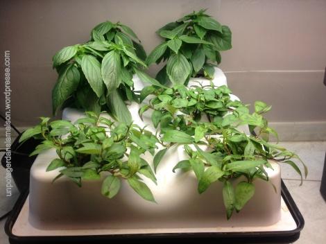 basilic thaï  (Ocimum basilicum var. thyrsiflora) et rau răm ( Polygonum odoratum) en aéroponie