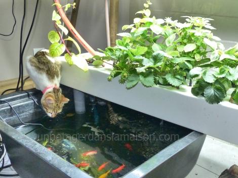 Henri le chat est fan d'aquaponie