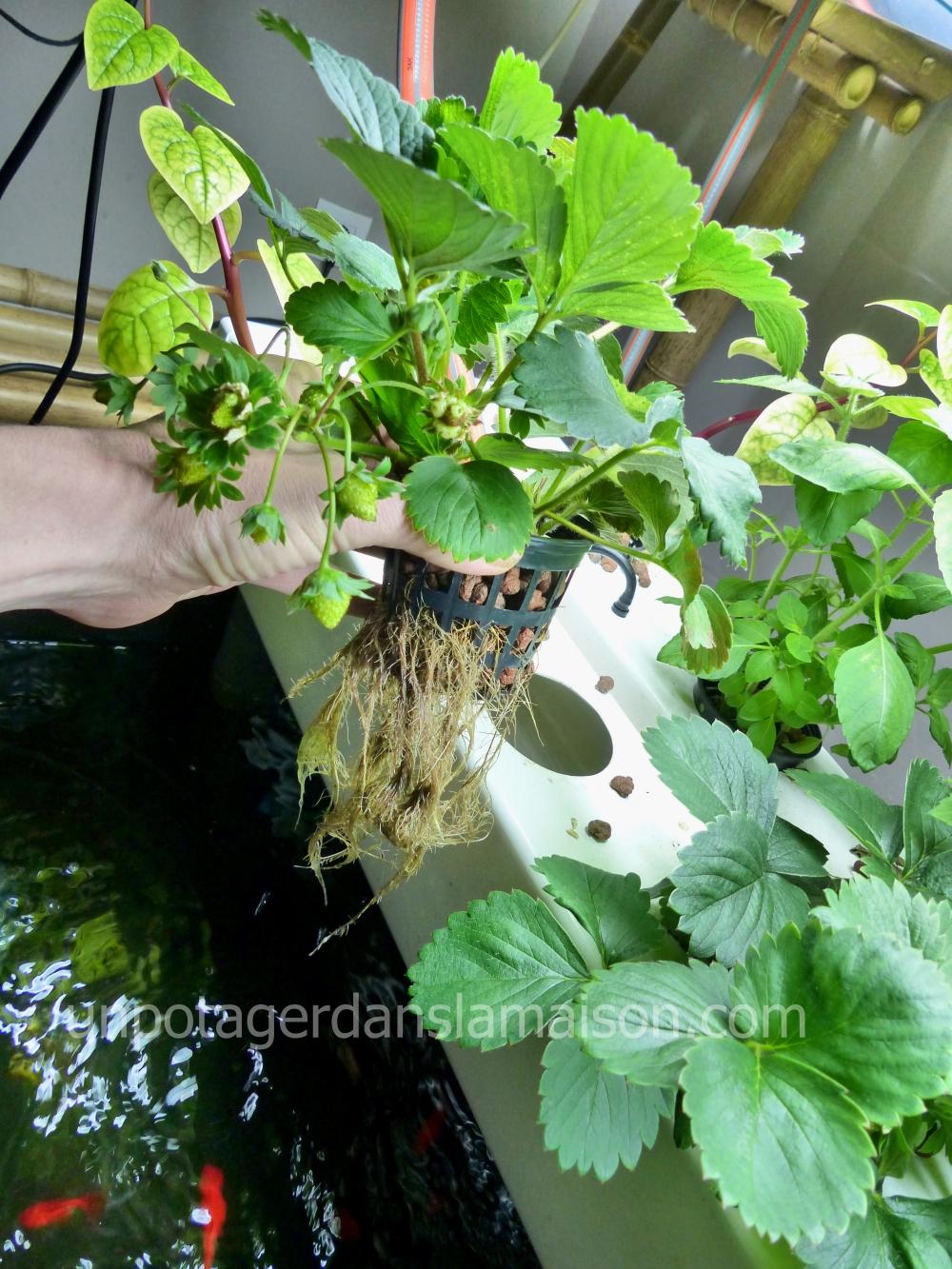 Les racines des plantes baignent dans une eau qui circule en permanence