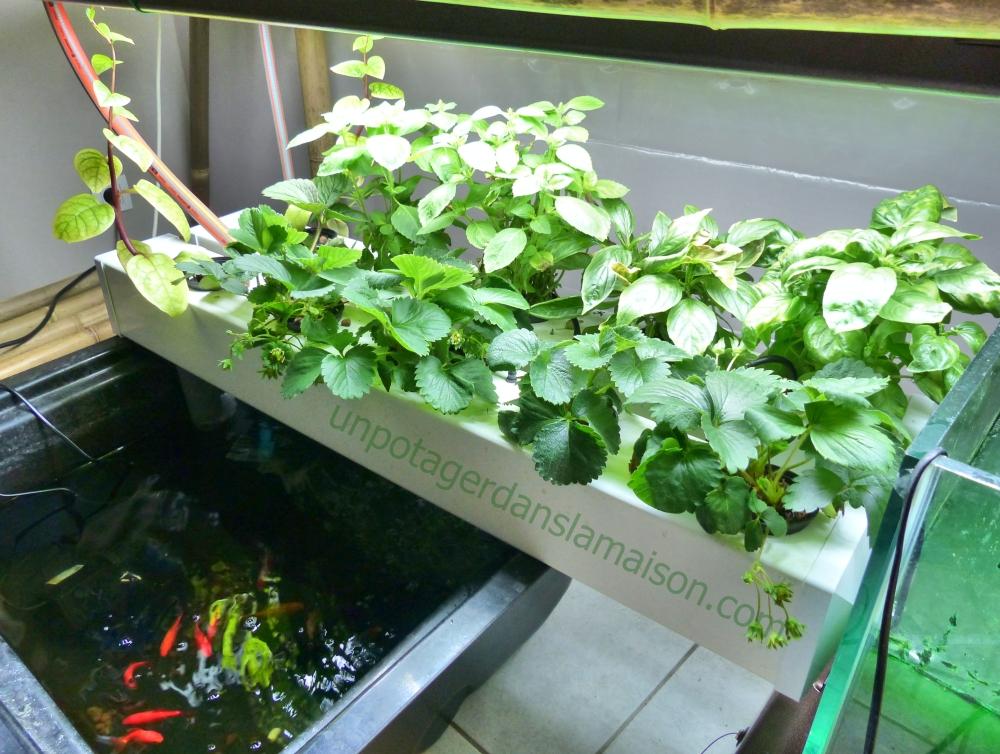 Système aquaponique, 100 l de bassin, deux chambres d'AeroFlo et un Filtre biologique déporté