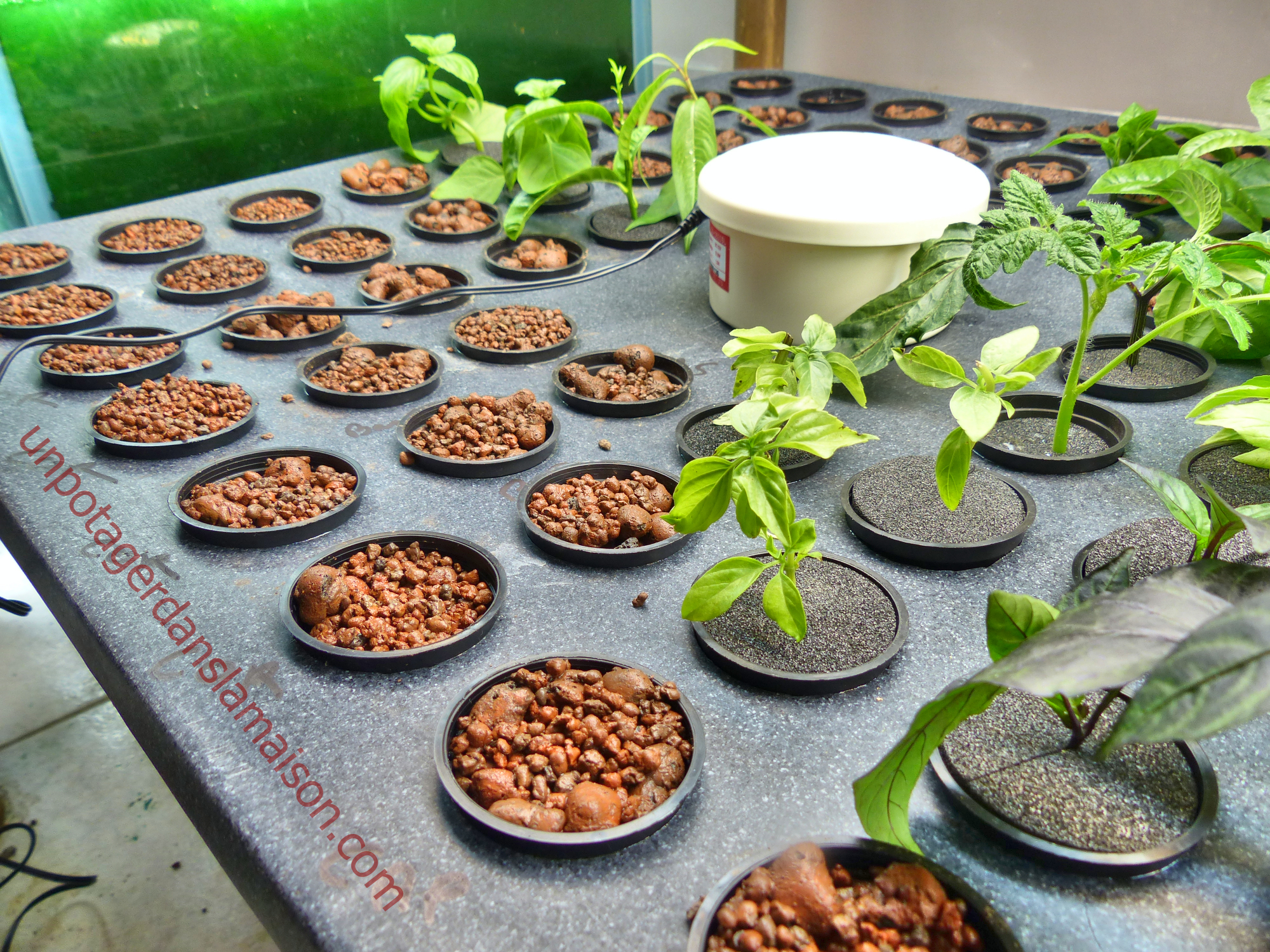 R ussir ses semis en a roponie cosmic garden for Basilic culture interieur