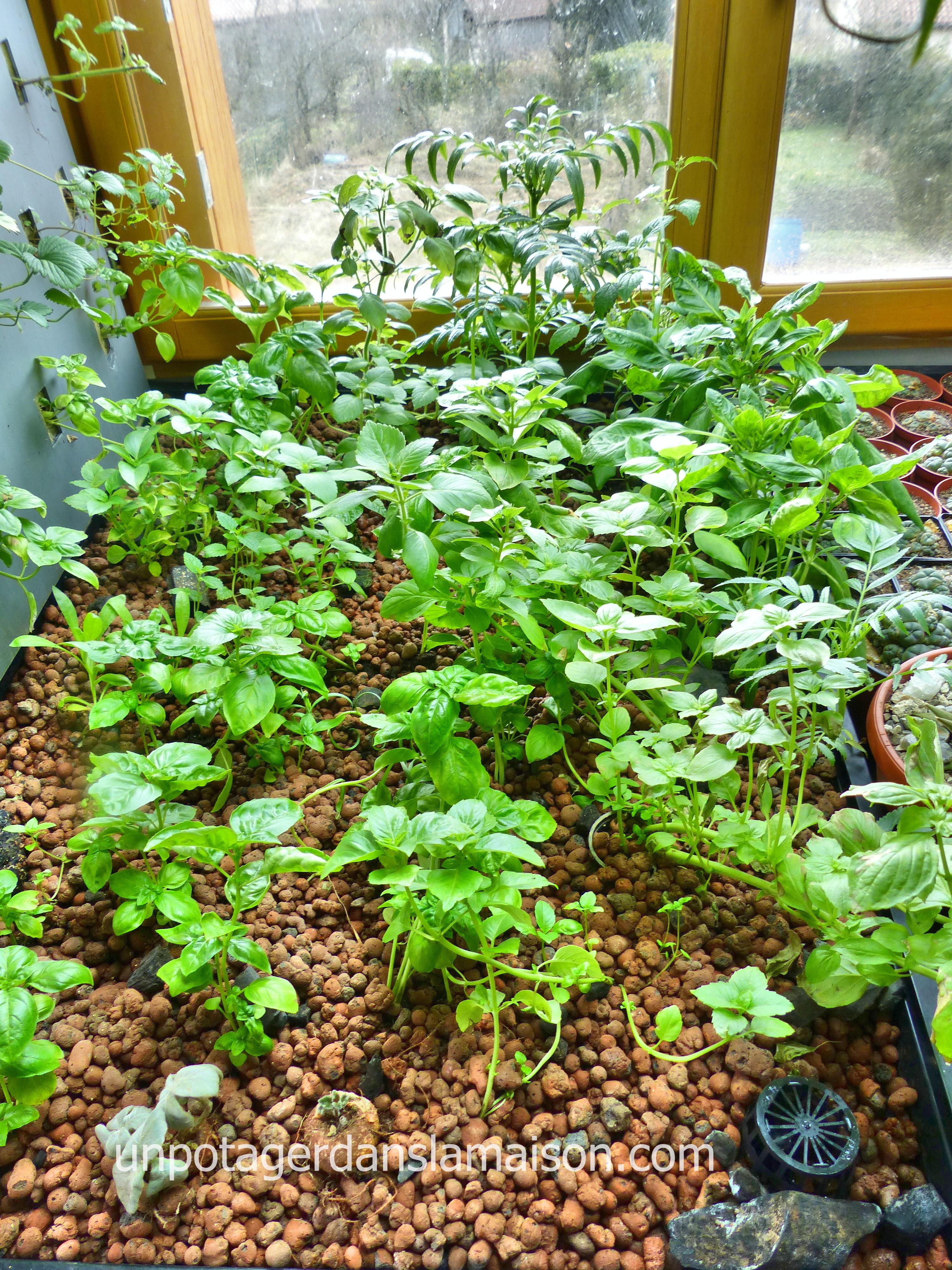 plante stevia culture